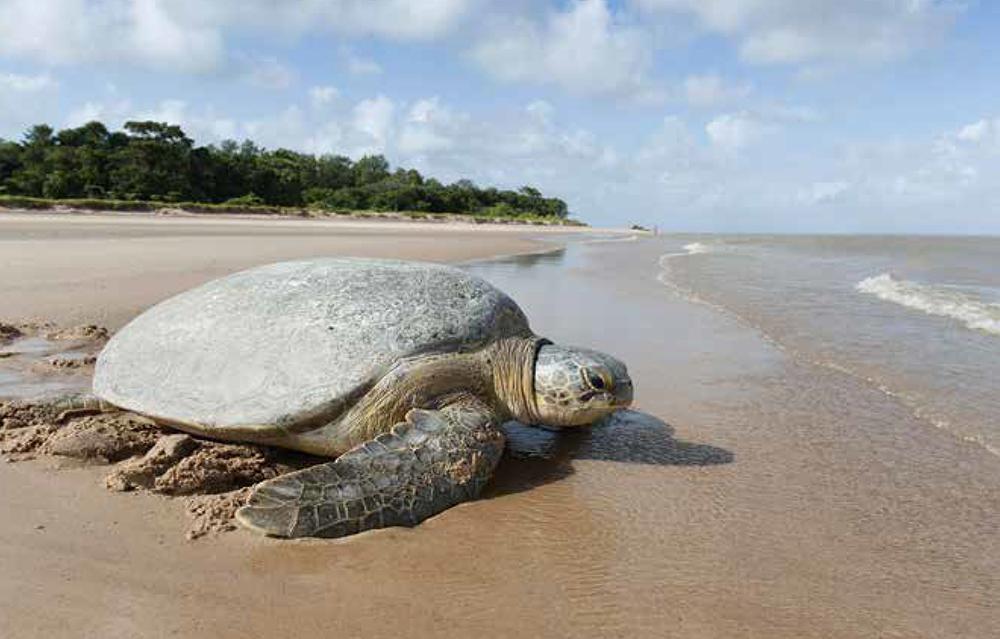 visuel-tortue-article-guyane-cayenne-images-grandeur-nature