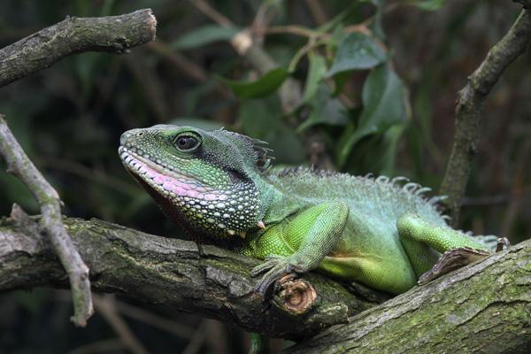 Iguane de Martinique