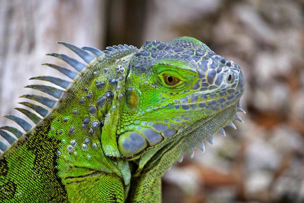 Iguane Vert de Martinique